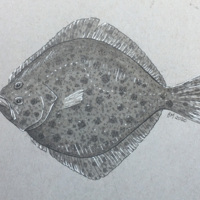 Flatfish - a study in grey