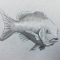 Snapper - a study in grey