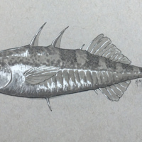 Stickleback - a study in grey