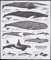 Whales, Gulf of Maine