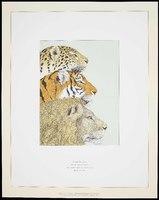 Three Felines: Leopard <i>Panthera pardus</i>, Tiger <i>Panthera tigris</i>, Lion <i>Panthera leo</i>